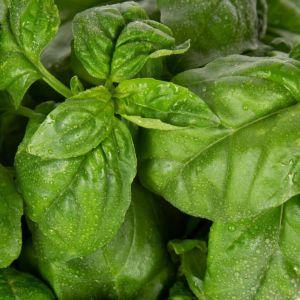 Plantui planten capsules - Spices :  Basil Genoveser