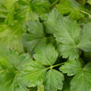 Plantui plantcapsules - Platte Peterselie